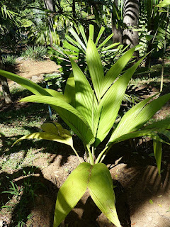 Cyphosperma tanga