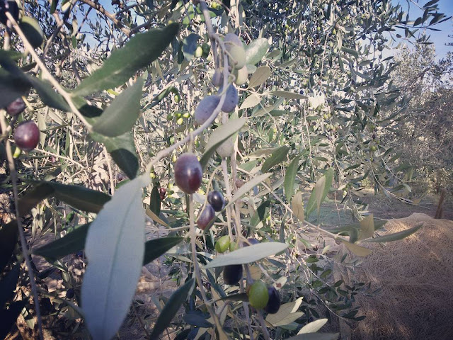 Healthy black and green olives on a Tuscan tree in autumn 2015
