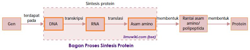 bagan tahapan proses sintesis protein