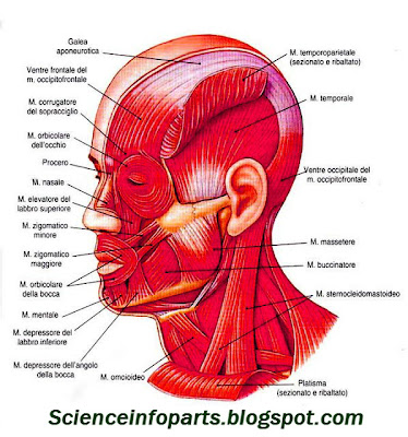 muscles of facial expression diagram 2009 audi a4 engine the head | science, biology,human and body parts best information