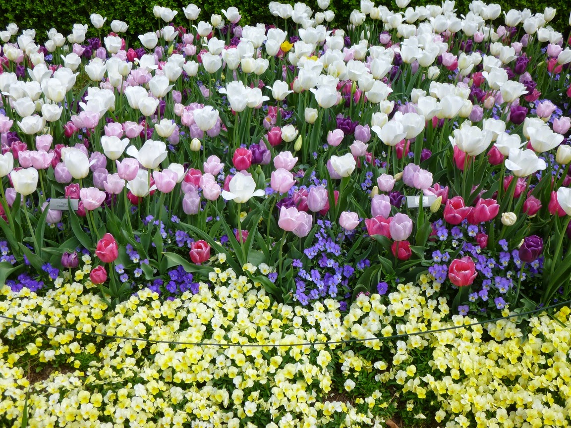 White, pink and purple tulips mixed with blue and yellow violas