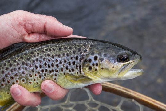 Hiwassee Brown Trout