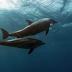 Τα τουρκικά σόναρ της «Γαλάζιας Πατρίδας» σκότωσαν δελφίνια στο Αιγαίο