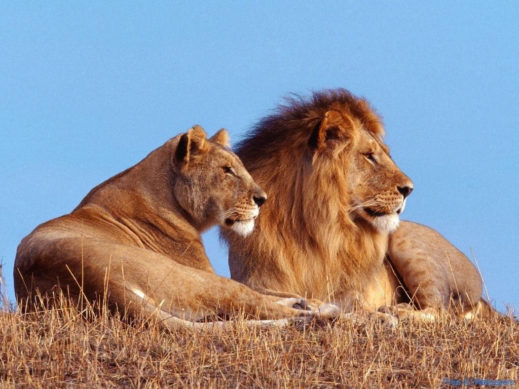 Lion Vs Tiger Aslan Vs Kaplan (1)