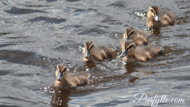 Pacific Black Duck ducklings