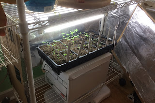 Light-box made from wire shelving with cardboard and foil for starting seedlings