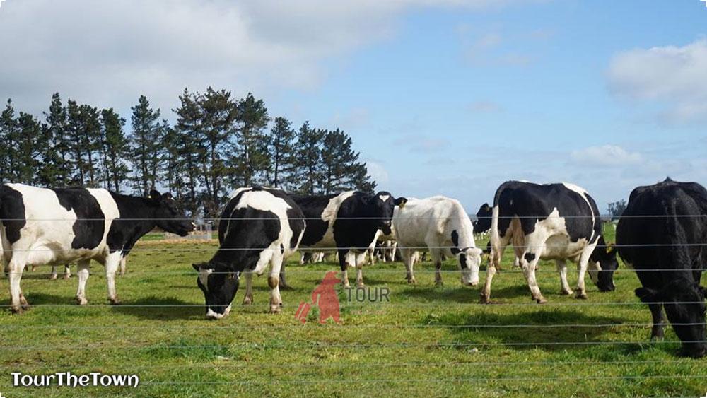 Selandia Baru Surga Daging dan Susu