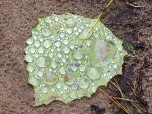 water droplets on aspen leaf