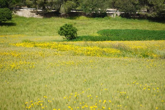 מאגר גלעד בצהוב פורח