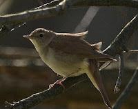 burung bulbul nightingale