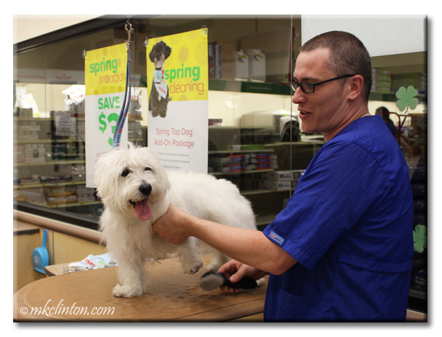 Westie being groomed