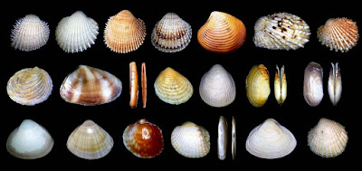 http://www.fotoconchigliemediterraneo.com/2013/01/bivalvia-5-carditidae-crassatellidae.html
