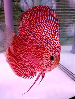 Jenis ikan discus Spotted leopard