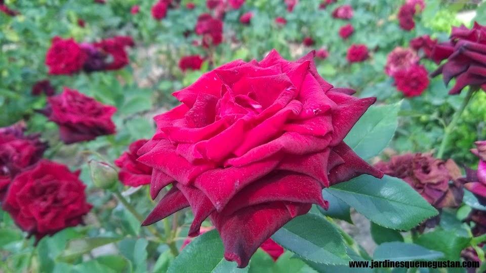 planta, rosal de flor rojo
