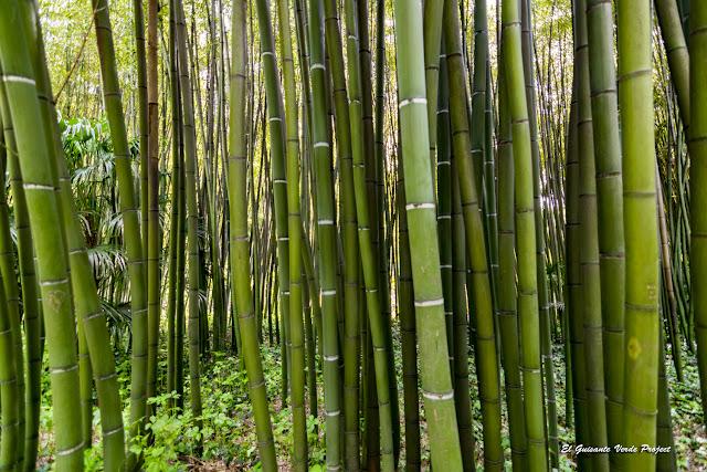 Bambú de la Bambouseraie de Cévennes, Francia por El Guisante Verde Project