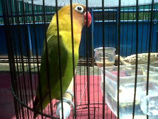Burung Lovebird - Faktor yang Menyebabkan Burung Lovebird Lepas Dari Sangkar - Perawatan Burung Lovebird