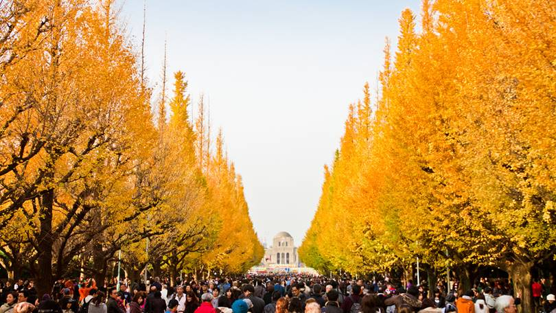 "golden ginkgo grows beautifully in the season, and many people go to this tree-lined road ginkgo avenues called ""Icho Namiki Avenue"""