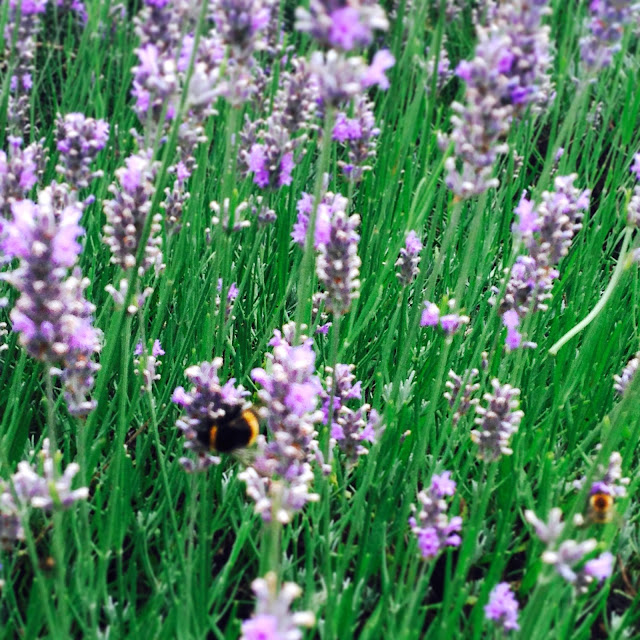 Lavender with a bee @ Ups and downs, smiles and frowns