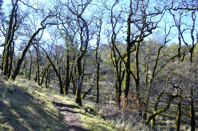 oaks without leaves in fur