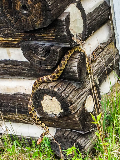 Fox Snake at Toft Point State Natural Area in Bailey's Harbor Door County