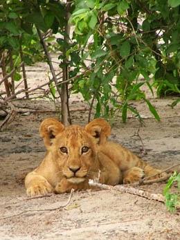 Cachorro de león