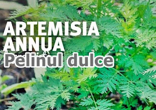 PELINITA sau Pelinul Dulce eficient in tratarea tuberculozei