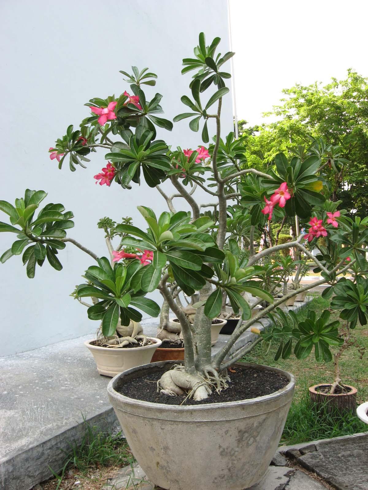 Nama latin adenium klasifikasi morfologi dan deskripsinya deskripsi morfologi tanaman adenium atau kamboja jepang adalah perdu batang tegak bulat bergetah hijau keputihan percabangan dikotomi ccuart Choice Image