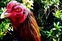 Harga Ayam Bangkok Terbaru 2018