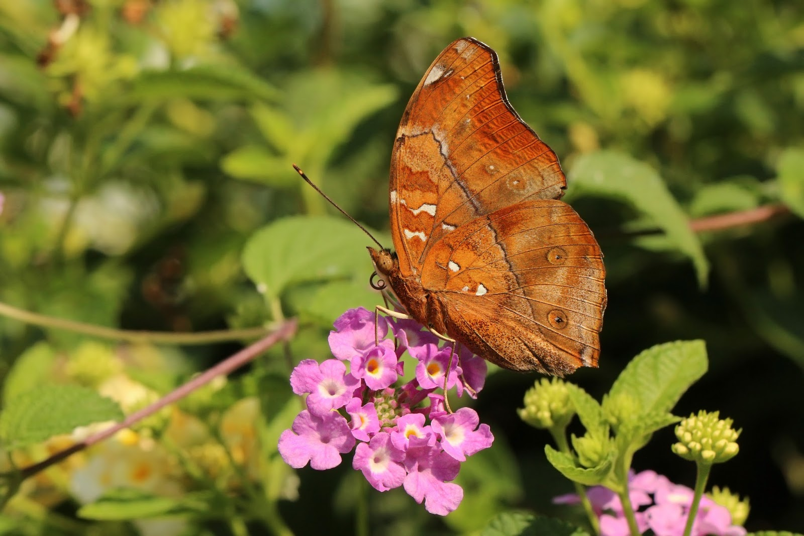 Insects: Autumn leaf (Doleschallia bisaltide) Bali I