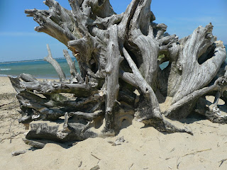First-Landing-State-Park-Virginia-Beach-Large-Driftwood