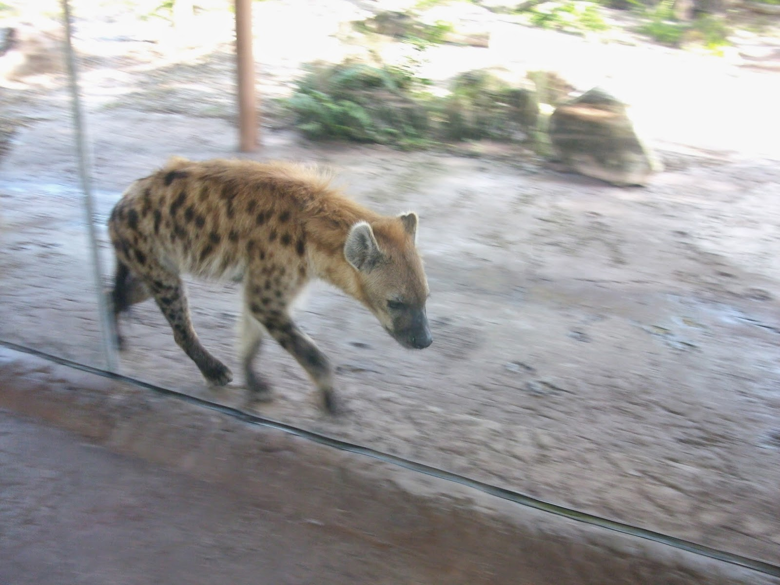 Hyena 2014 Review ZooZooReview: B...