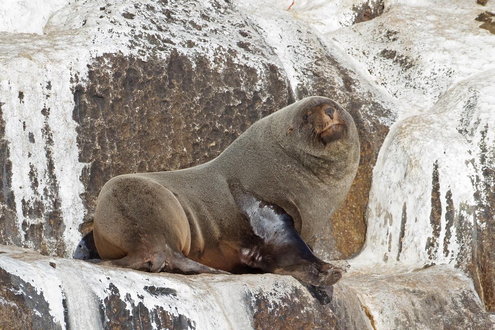 Mammals Animals: Arctocephalus pusillus - SE Tasmania