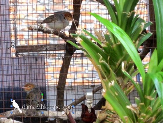 Cara Merawat Burung Prenjak Agar Cepat Bunyi Dan Rajin Berkicau Gacor Sekaligus Sebagai Master Hobi Si Petani