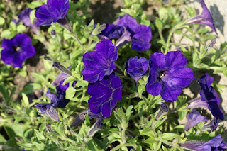 Petunia hybride - Supertunia Mini Blue