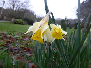 Early daffodils in Clyne Gardens