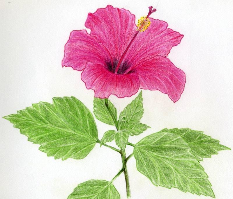 Flowers For Flower Lovers.: Flower Drawing