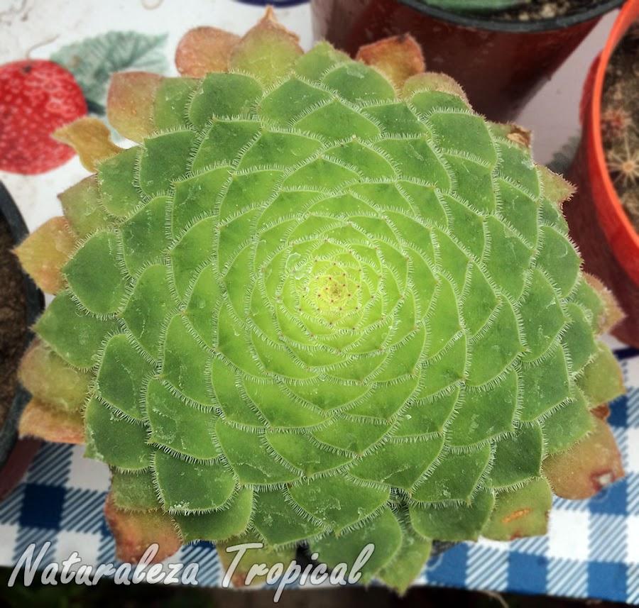 Vista de la roseta de hojas típica de la planta suculenta