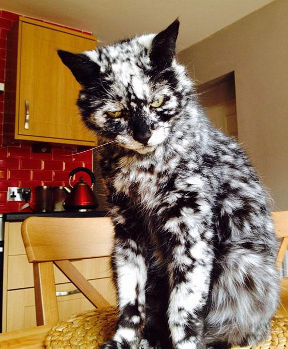 Gato Scrappy con vitiligo