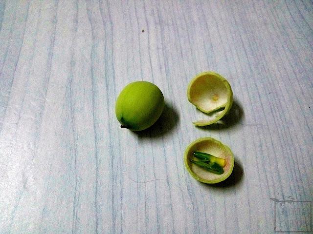 Lotos orzechodajny (Nelumbo nucifera) jak wyglądają i smakują owoce, orzeszki, owocostan, zdjęcia.