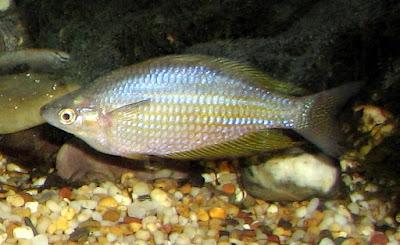 Eastern rainbowfish