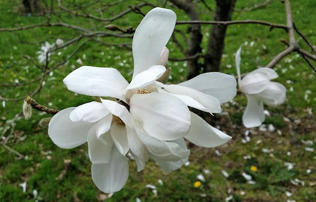 magnolia, white magnolia