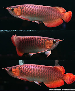 Arowana Fish 3d Live Wallpaper Dragon Fish Arowana Beauty 2