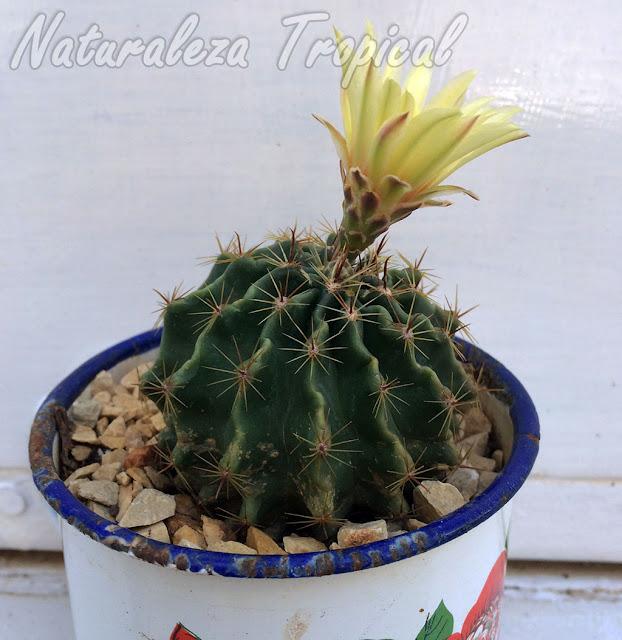 Vista del cactus Erizo en flor, Thelocactus setispinus