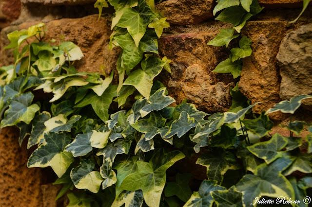 Lierre sur les pierres dorées du Beaujolais