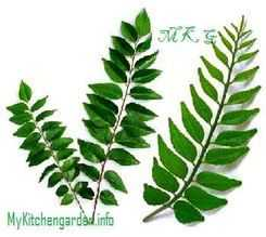 Picture of Curry Leaves