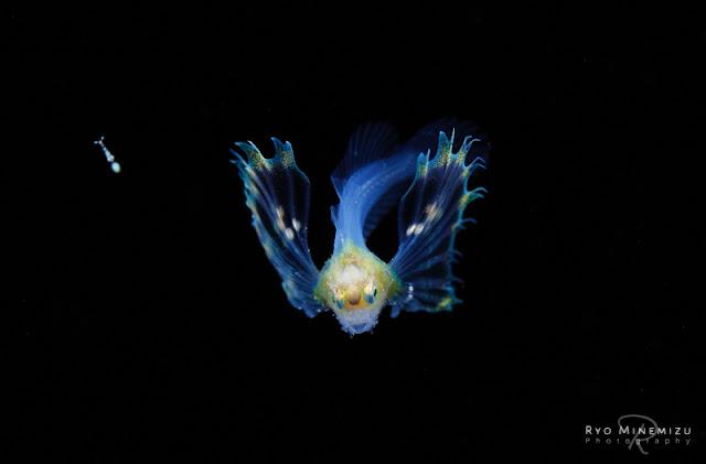 オニオコゼ科の稚魚