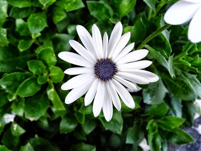 Flor Margarita con centro azul.blanca