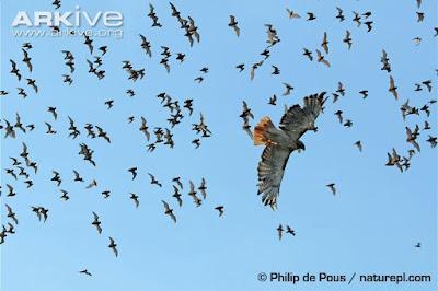 Hawk and bats