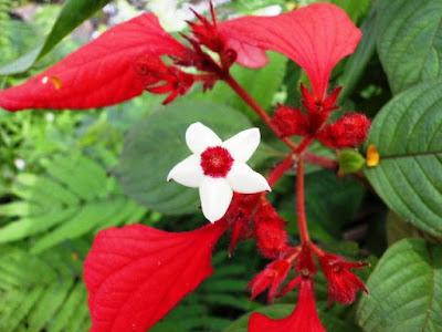 Bunga Tercantik di Dunia-Mussaenda Erythrophilla Ashanti Blood