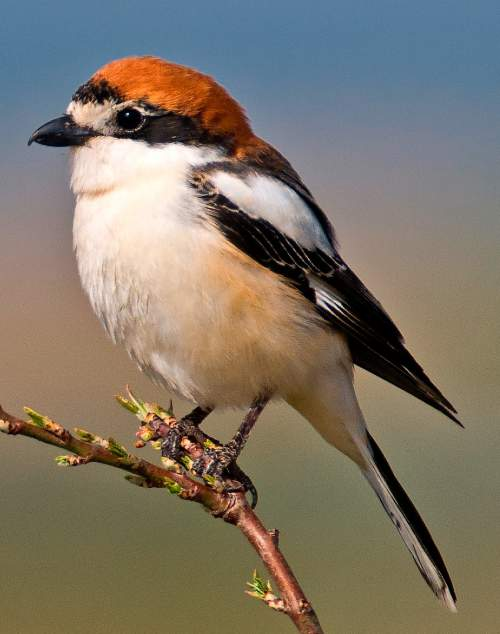 Birds of India - Image of Woodchat shrike - Lanius senator